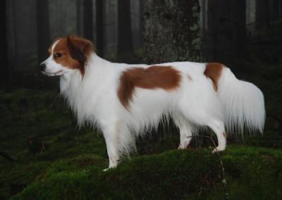 kooikerhondje-aldo-bayrischer-wald-3